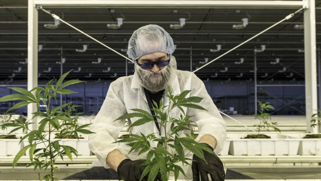 Aurora Cannabis sales shrink more than expected, stock falls in late trading