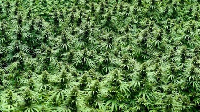 Bearish Wave Tumbles Marijuana Stocks