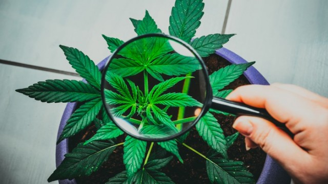 Analysis: Aurora Cannabis Could Improve Position Based On Exports, Jushi Price Target Adjusted Down